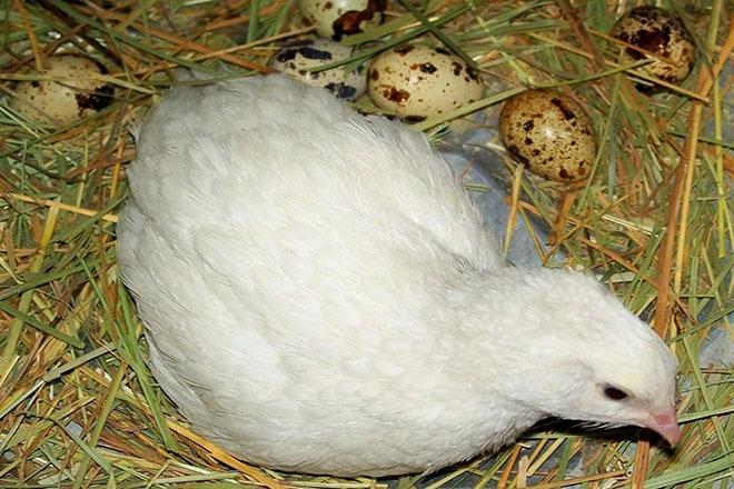 Перепелка в гнезде