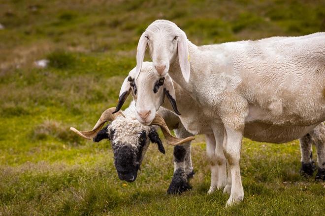 Длинноухие овцы