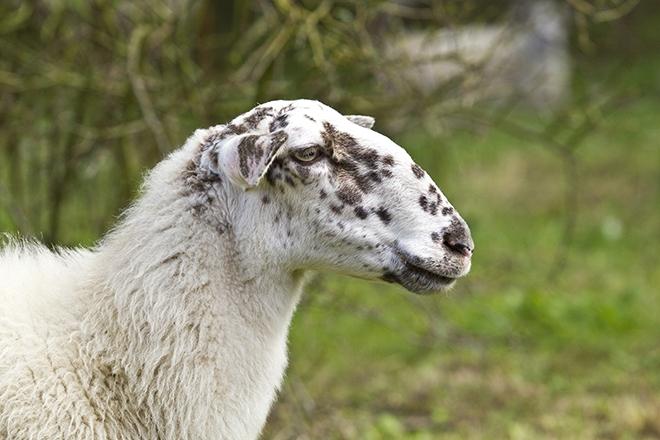 Овца с короткими ушами
