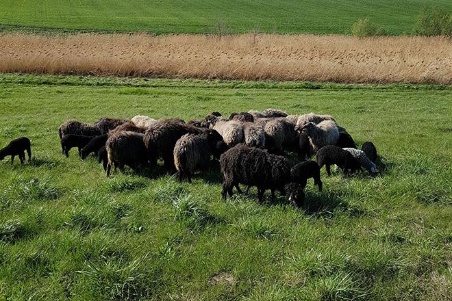 Каракульские овцы