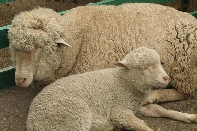 Цигайская овца с ягнёнком