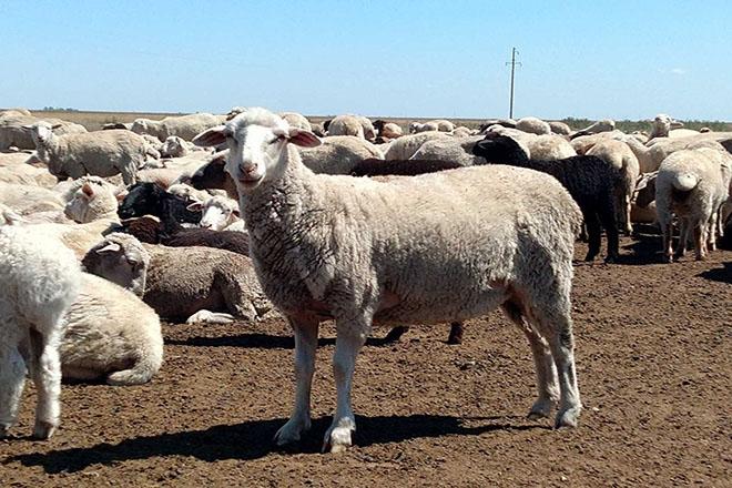 Овцы цигайские