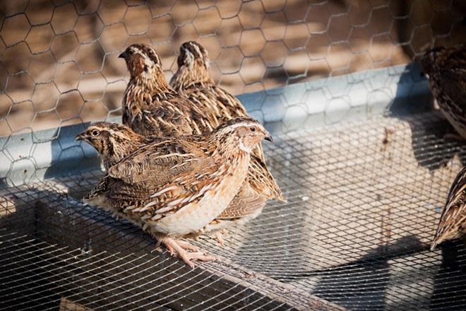 Японские перепела в птичнике