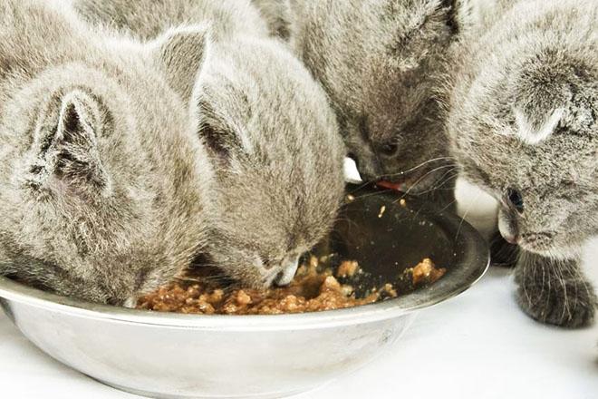 Котята едят влажный корм