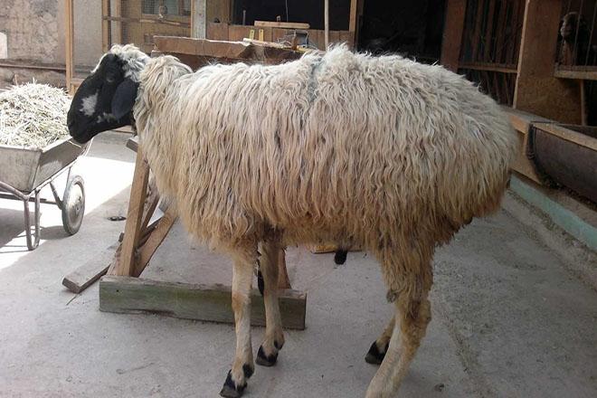 Куррдючная калмыцкая овца