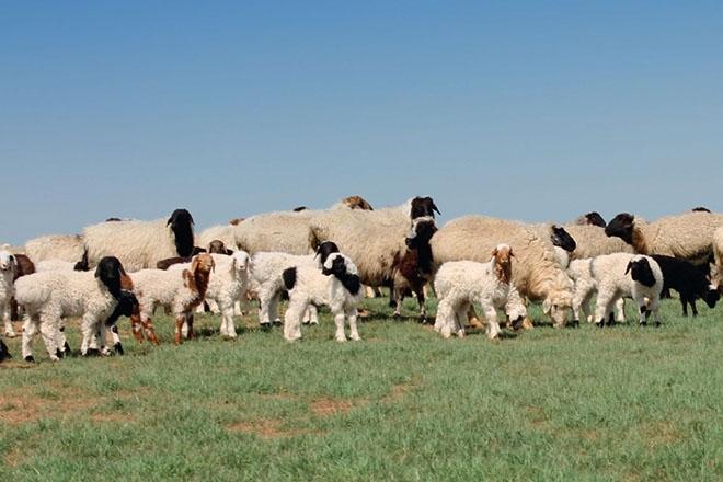 Калмыцкая порода овец
