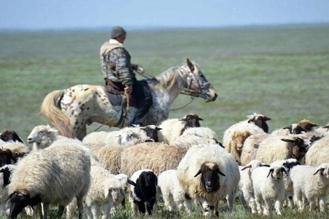Калмыцкие овцы на пастбище