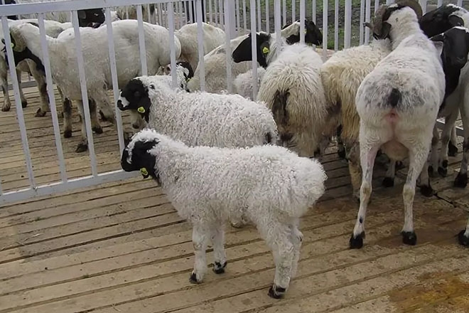 Ягнята и овцы калмыцкой породы