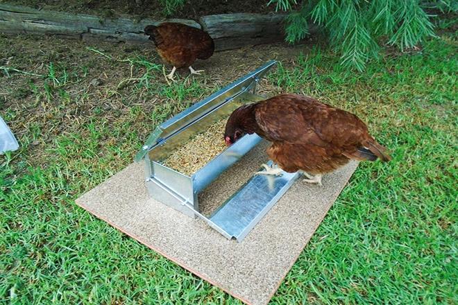Курица возле кормушки