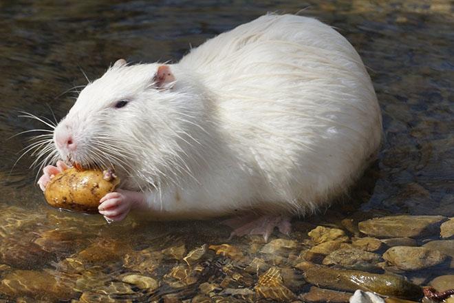 Белая нутрия ест