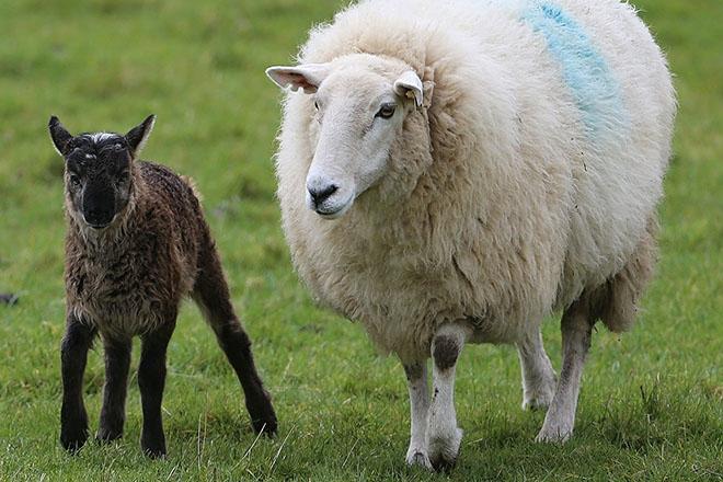 Гибриды овец