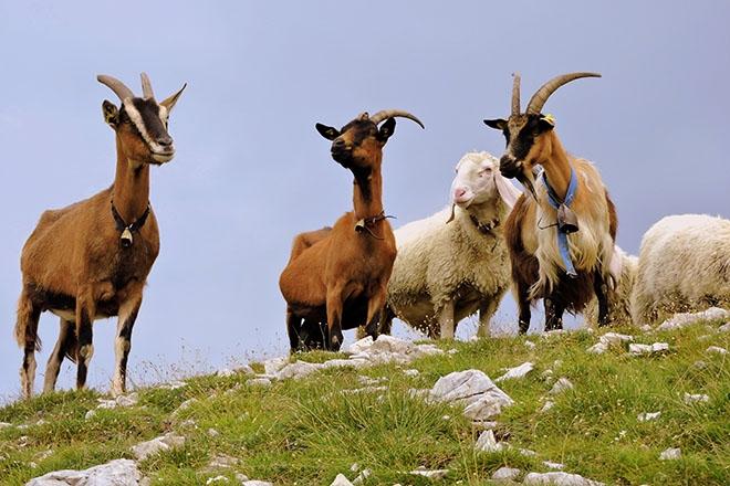 Козы и овцы на поле