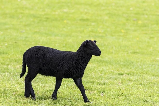 Карачаевская овца