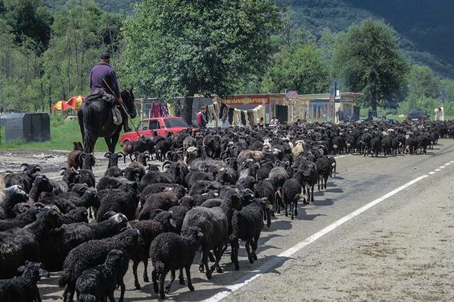 Стадо карачаевских овец