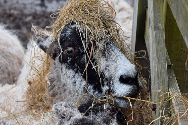 Овца ест сено
