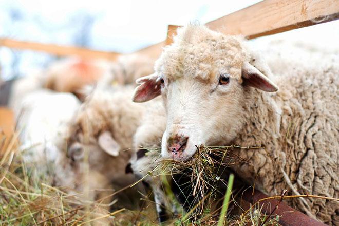 Кормушка для овец для сена