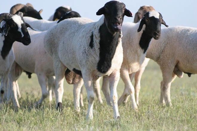 Калмыцкие курдючные овцы