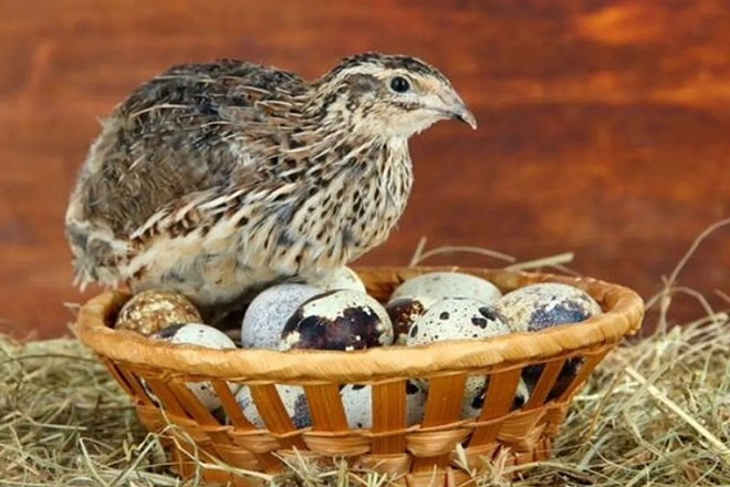 Перепелка и яйца